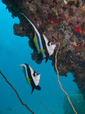 Bannerfish Longfin под утесом Стоковое Изображение