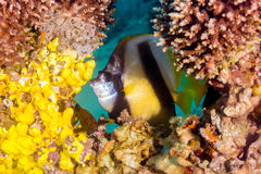 Bannerfish looking through a gap between hard corals. A Bannerfish looks out through a hole in a hard coral pinnacle stock images