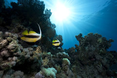 Bannerfish, ocean and coral Royalty Free Stock Photos