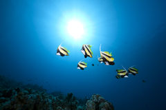 Bannerfish, ocean and coral Stock Image