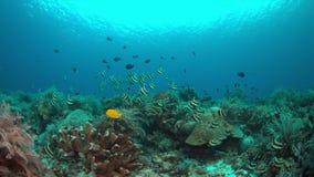Bannerfish på en korallrev arkivfilmer