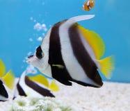 Bannerfish que enseña colorido Fotos de archivo libres de regalías