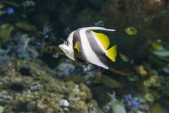 Bannerfish Stock Image