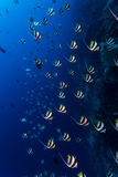 Bannerfish schooling Royalty Free Stock Images