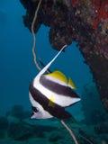 Bannerfish solitarios Imagenes de archivo