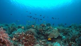 Bannerfish su una barriera corallina Immagini Stock