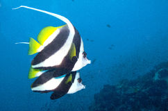 Bannerfish swim by. Two long fin banner fish swim by Royalty Free Stock Images