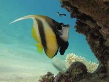 Bannerfish unter einem korallenroten Block im freien blauen Wasser Stockfotos