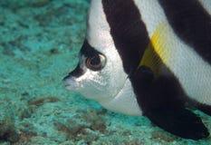 Bannerfish zakończenie up Obrazy Stock