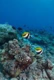Bannerfishes Stockfoto