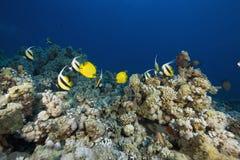 bannerfishes heniochus intermedius红海 免版税图库摄影