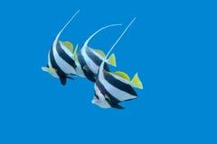 Bannerfishes in tropische overzees, onderwater Stock Foto's