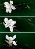Banners met witte magnolia Stock Afbeelding