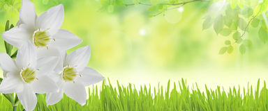 Banners with white daffodils Stock Photo