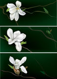 Banners with white magnolia Stock Image