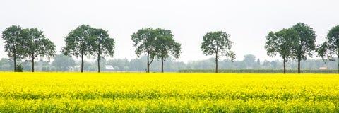 Bannière avec la graine de colza et les arbres Photographie stock