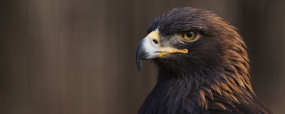Bannière d'Eagle d'or Images libres de droits