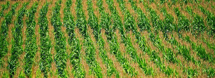 Bannière de champ de maïs Images libres de droits