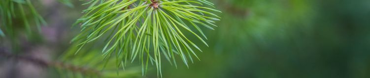 Bannière de fin de branche d'arbre de sapin  Orientation peu profonde Fin pelucheuse de brunch d'arbre de sapin vers le haut de l image libre de droits