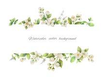 Bannière de vecteur d'aquarelle des fleurs jasmin et des branches de menthe d'isolement sur le fond blanc illustration stock