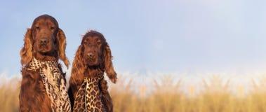 Bannière drôle d'amour de chien Photographie stock libre de droits