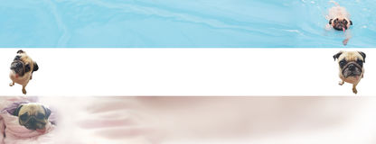 Bannière mignonne de chien de roquet pour la publicité de Web avec l'espace de copie pour le texte Photos libres de droits