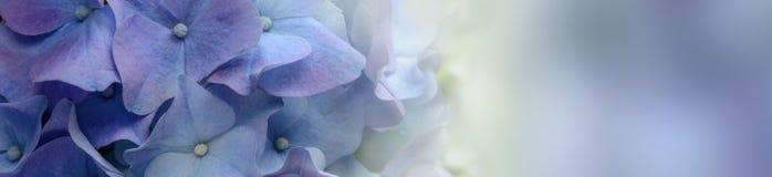 Bannière pourpre de fleur d'hortensia Photographie stock