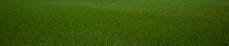 Bannière verte de gisement de riz Photos libres de droits