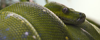Bannière verte de python d'arbre Photo libre de droits
