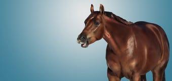 Bannner parlant de cheval Photos stock