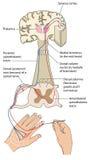 Banor för sensorisk och motorisk nerv Arkivfoton