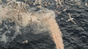 Banquete de gaviotas durante la emisión de la basura de los pescados de la nave almacen de video