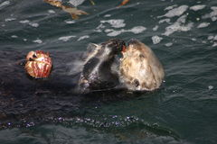 Banquete de la nutria de mar Imagen de archivo libre de regalías