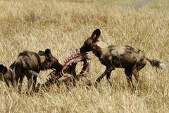 Banquete de perros salvajes africanos Foto de archivo libre de regalías