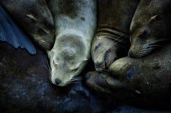 Banquete del león marino Foto de archivo libre de regalías