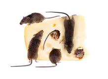 Banquete del ratón de casa común (musculus de Mus) en un pedazo grande de c Fotos de archivo