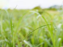 Banta gräsbladet med daggdroppe och göra grön suddighetsbakgrund Arkivfoto