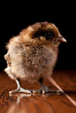 Bantaam brown baby chick looking to the side standing up. Newly hatched baby Bantaam brown baby chick on a black background Stock Photography