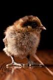 Bantaam brunt behandla som ett barn fågelungen som ser till det stående övre för sida arkivbild