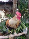 Bantam. Chicken folk-chicken jungle-fowl pets royalty free stock photo
