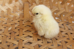 Bantam chick Stock Image