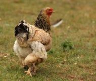 Bantam Chicken. A free range female Sussex Bantam Chicken Stock Photography