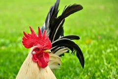 Bantam Chicken Stock Images