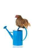 Bantam chicken on blue watering can Royalty Free Stock Photography