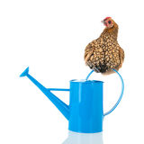 Bantam chicken on blue watering can Royalty Free Stock Image