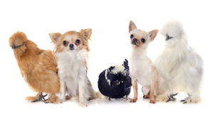 Bantam chicken and chihuahuas Stock Photos
