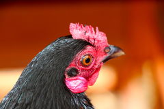 Bantam chicken Royalty Free Stock Photography