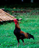 Bantam chicken Royalty Free Stock Photo