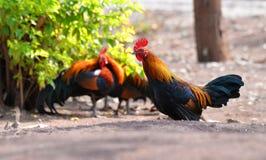 Bantam chicken Royalty Free Stock Image