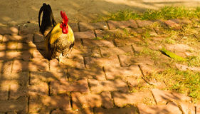 Bantam. Chickens are walking on the floor royalty free stock photography